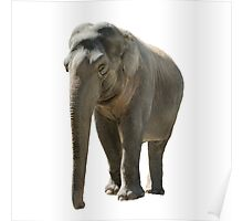 Isolated young african elephant on white Poster