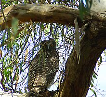 Powerful Owl Family 2 by Biggzie