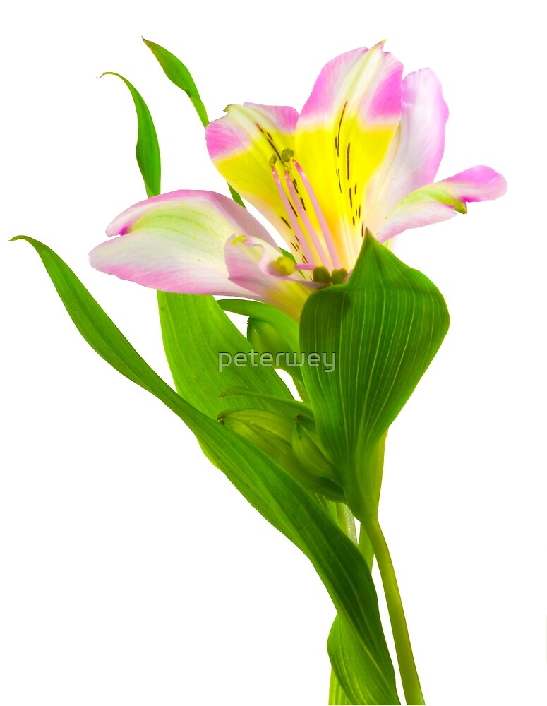 Isolated lilly on white background. by peterwey