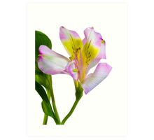 Isolated lilly on white  Art Print