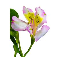 Isolated lilly on white  Photographic Print