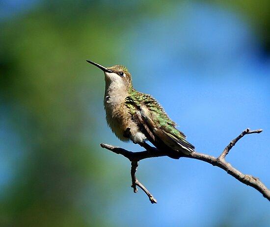 Hummingbird... by LjMaxx