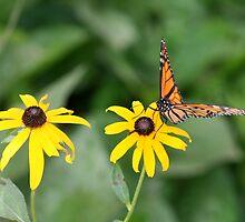 Butterfly landing home by ZeeZeeshots