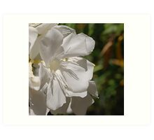 white oleander bloom in full sunlight Art Print