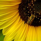 bee on sunflower  by buko