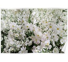A Field of White Phlox Poster