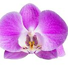 Moth orchid flower by Johan Larson