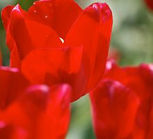 red tulips by dcborn
