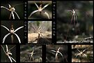 Spider Orchid - Mallee Scrub - Monarto - South Australia by LeeoPhotography