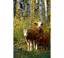 Larry,Curly and Mooo Photographic Print