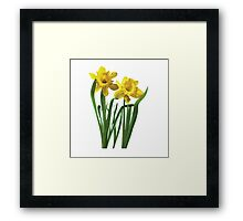 Daffodils At Attention Framed Print