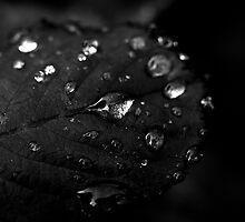Rain drops on roses by aaronkenn