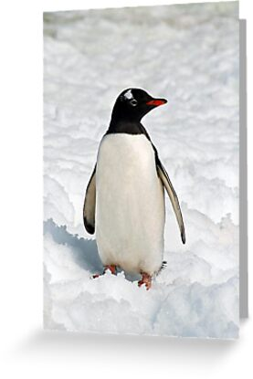 Gentoo on Ice - small file by Rosie Appleton