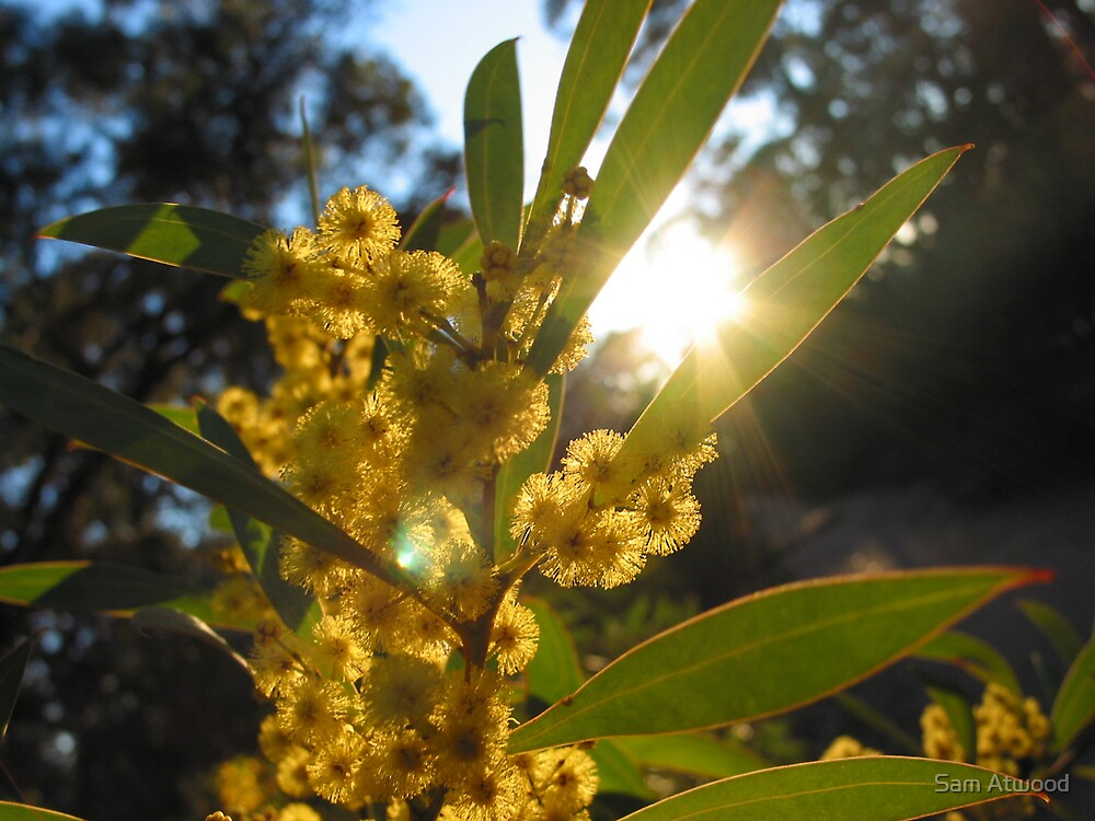 Sunlit Wattle by Sam Atwood