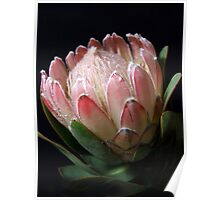 Quintessential Queen-Protea Poster
