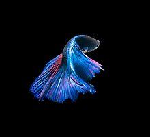 Blue Siamese Fighting Fish by Betta-Fish