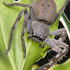Huntsman Spider by karfarzel