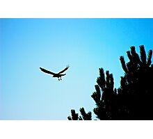 Crow flying Photographic Print
