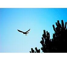 Crow flying Photographic Print