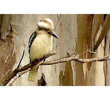 Kookaburra on a Gum tree Photographic Print