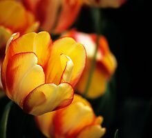 "Darwin Hybrid Tulipa ""Beauty of Spring"" by Alison Cornford-Matheson"