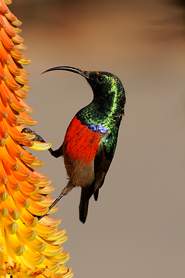 Greater Double Collared Sunbird 1 by ©   Elaine van Dyk