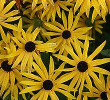 Not A Sunflower by Loisb