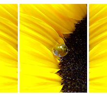 Sunflower Tryptichon Photographic Print