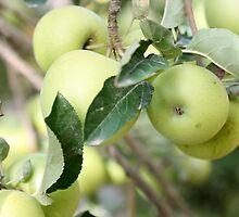 apple tree by keki