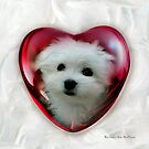 Hermes the Maltese - Valentine Boy ! by Morag Bates