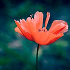 Lonely poppy by LudaNayvelt