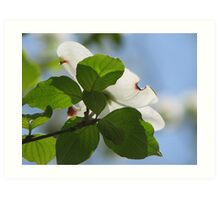 Dogwood Bloom, Facing The Sun Art Print