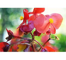 Begonias Photographic Print