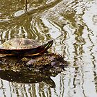 Painted Turtle by SRowe Art