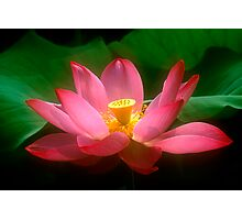 Lotus #44 Photographic Print