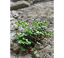 Growing from a Castle Wall Photographic Print