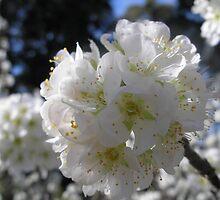White blossom by judyA