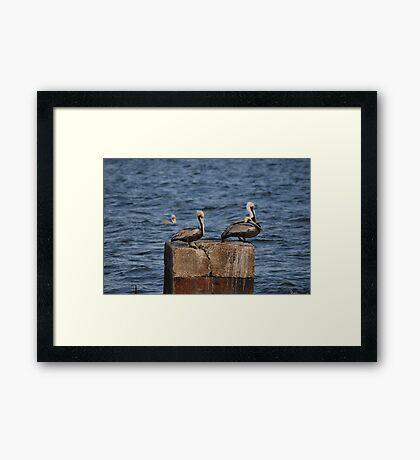 Three Pelicans Framed Print