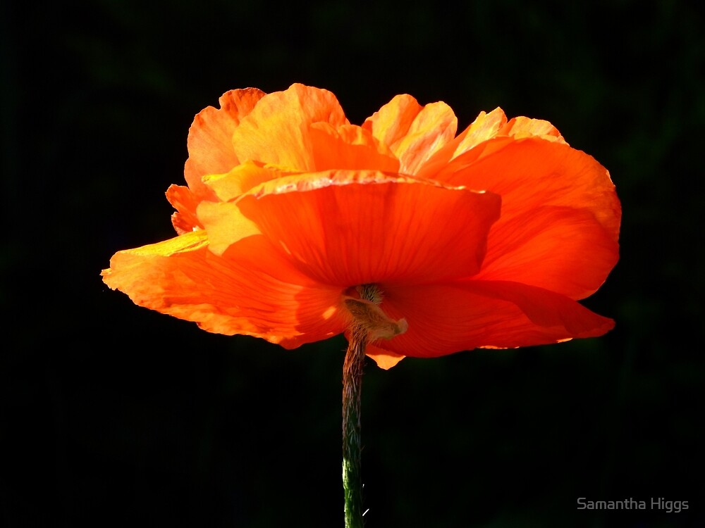 Single Poppy by Samantha Higgs