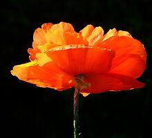 Single Poppy by Samantha Higgs