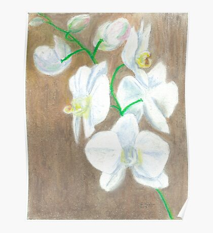 Phalaenopsis Orchid (hybrid) white Poster