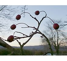 Juggling Haws Photographic Print