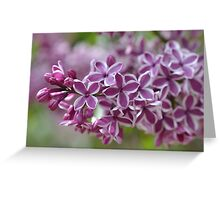Two-Tone Lilacs Greeting Card