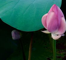 Lotus by Janos Sison