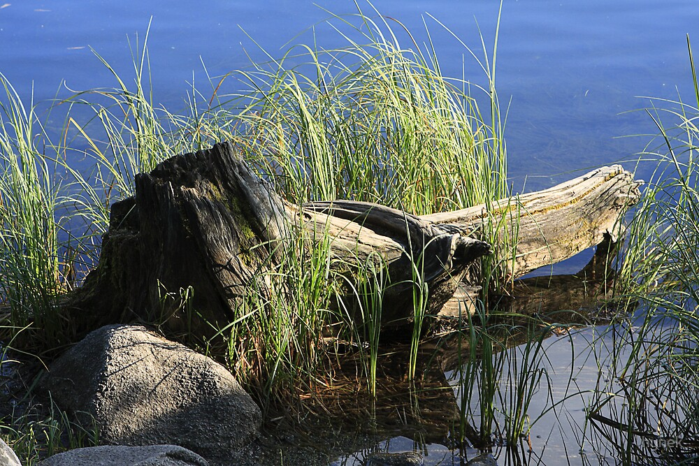 Old Stump at Waterfront by hynek