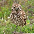 Burrowing Owl #4 by Virginia N. Fred