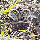 Burrowing Owl #5 by Virginia N. Fred