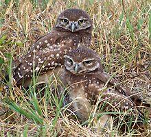Burrowing Owl #8 by Virginia N. Fred