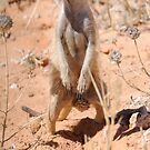 Meerkat - Kgalagadi Transfrontier Park, Kalahari, South Africa by    Elaine van Dyk