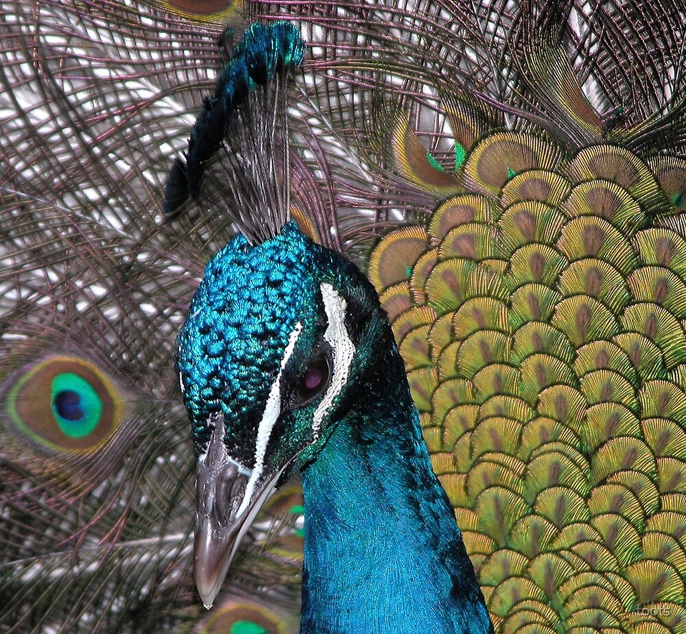 Peacock by toots